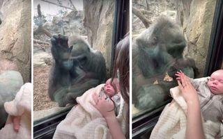 Video emoționant: O gorilă de la zoo încearcă să mângâie prin sticla securizată un bebeluș de cinci săptămâni