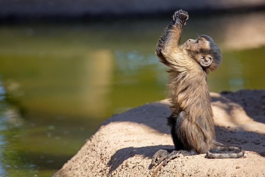 maimuță de slăbit pierderea în greutate la un buget